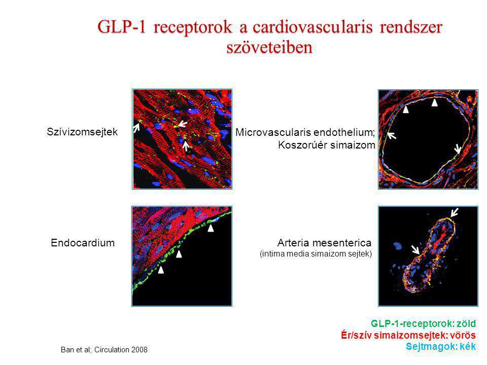 GLP-1 receptorok a cardiovascularis rendszer szöveteiben