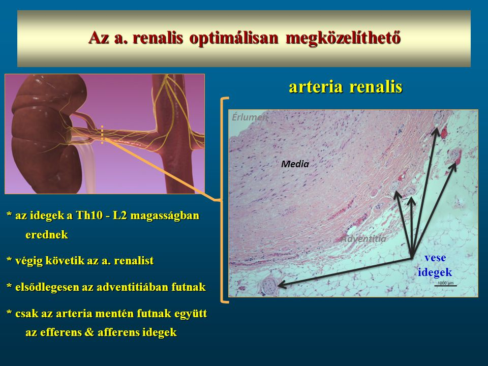 Az a. renalis optimálisan megközelíthető