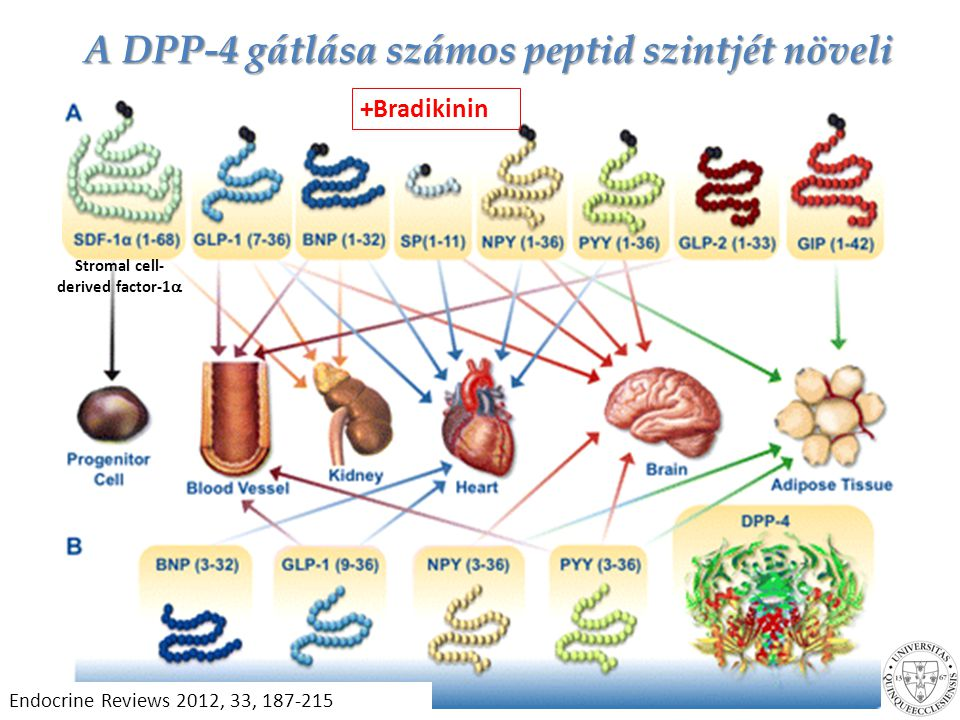 A DPP-4 gátlása számos peptid szintjét növeli