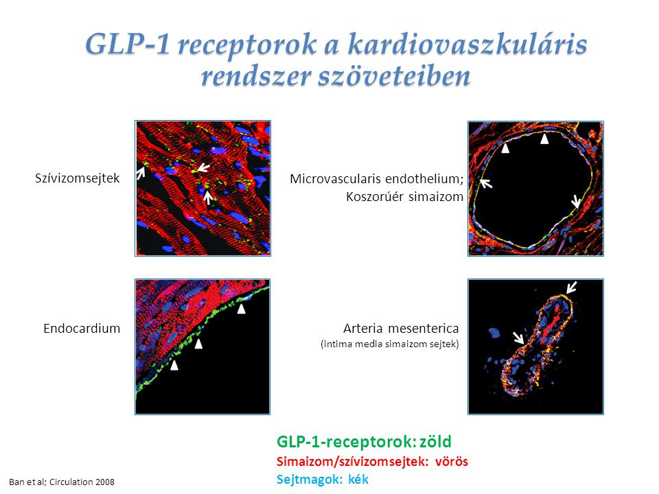 GLP-1 receptorok a kardiovaszkuláris rendszer szöveteiben