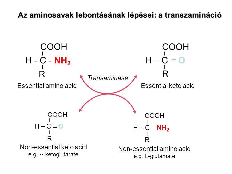 Az aminosavak lebontásának lépései: a transzamináció