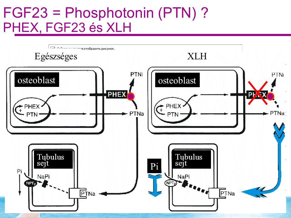 FGF23 = Phosphotonin (PTN) PHEX, FGF23 és XLH