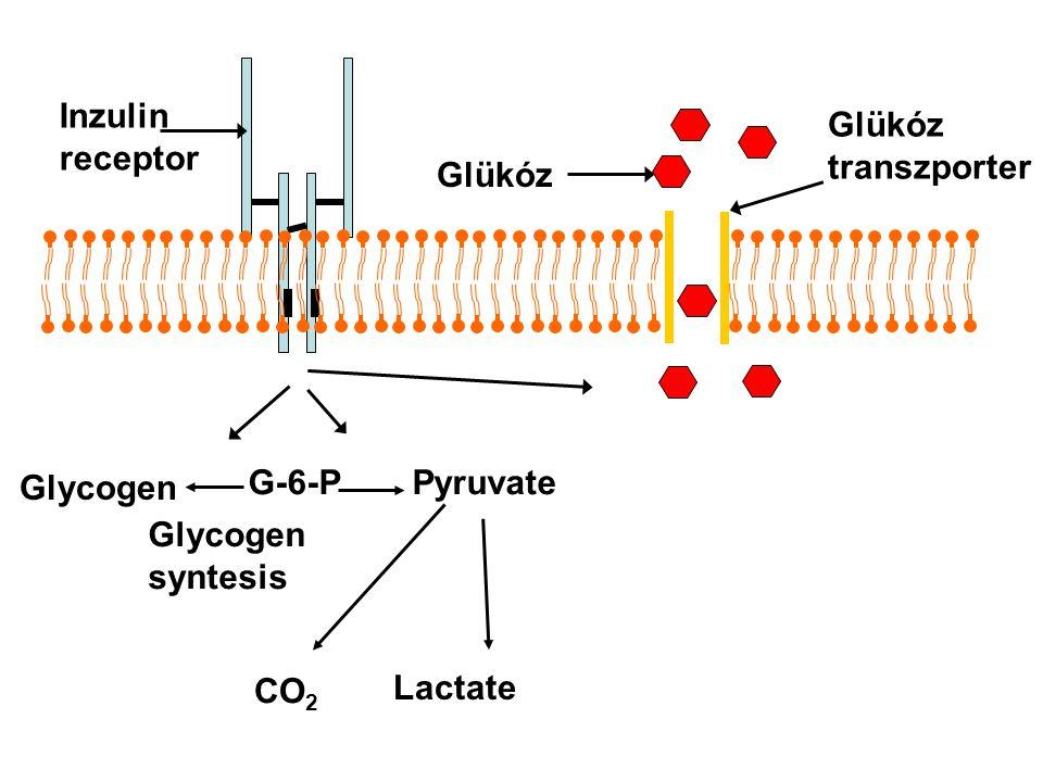 Inzulin receptor Glükóz transzporter Glükóz Glycogen G-6-P Pyruvate Glycogen syntesis CO2 Lactate