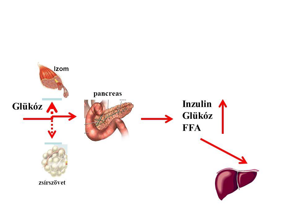 Izom pancreas Inzulin Glükóz FFA Glükóz zsírszövet máj