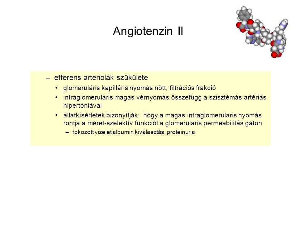 Angiotenzin II efferens arteriolák szűkülete