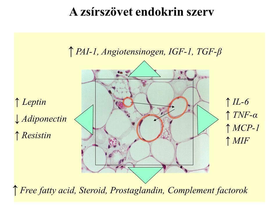 A zsírszövet endokrin szerv