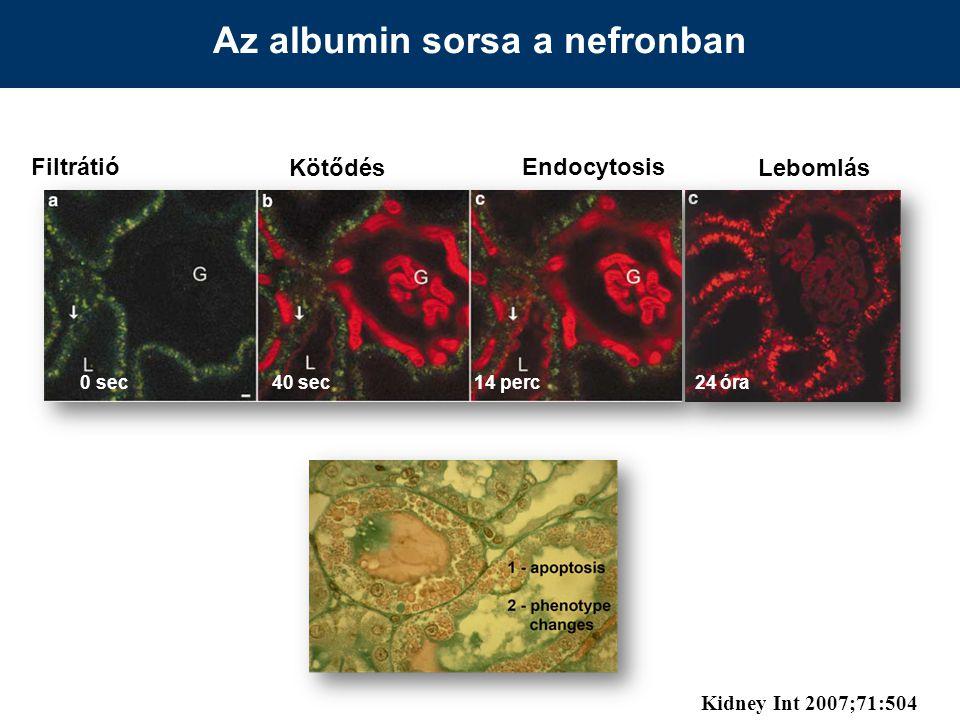 Az albumin sorsa a nefronban