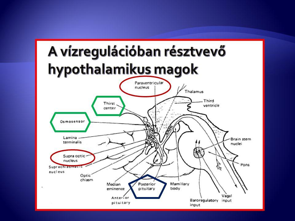 A vízregulációban résztvevő hypothalamikus magok