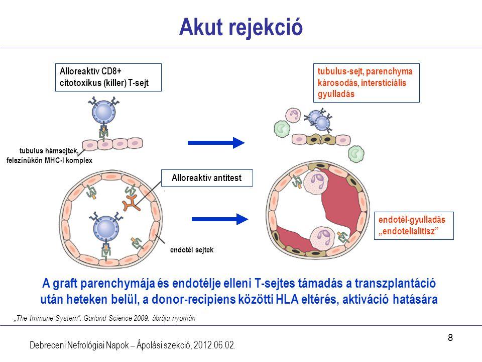 tubulus hámsejtek, felszínükön MHC-I komplex