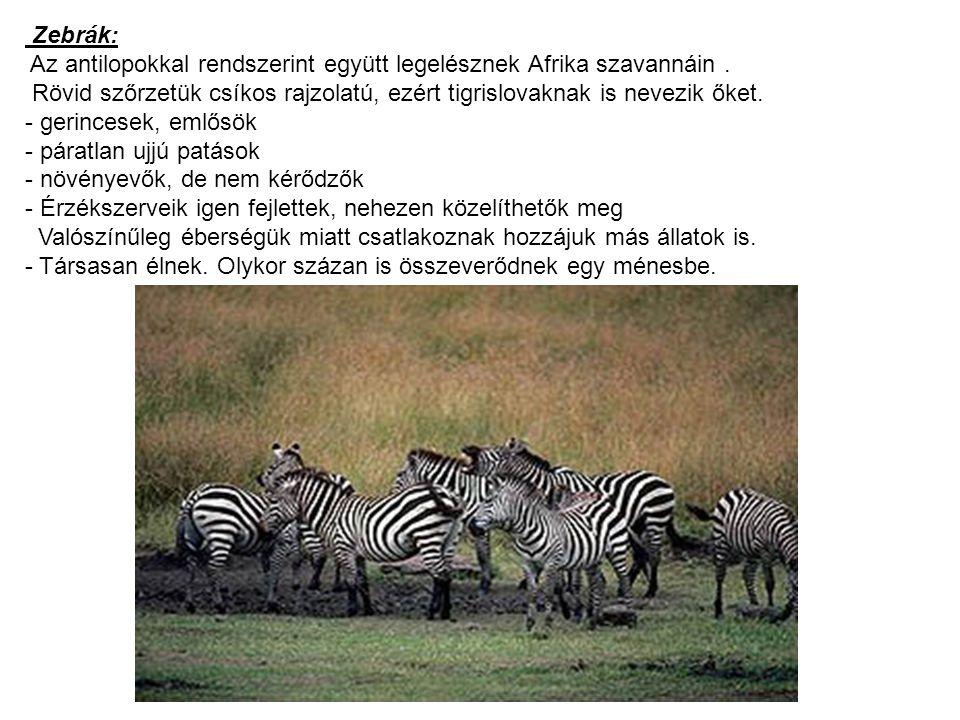 Zebrák: Az antilopokkal rendszerint együtt legelésznek Afrika szavannáin . Rövid szőrzetük csíkos rajzolatú, ezért tigrislovaknak is nevezik őket.