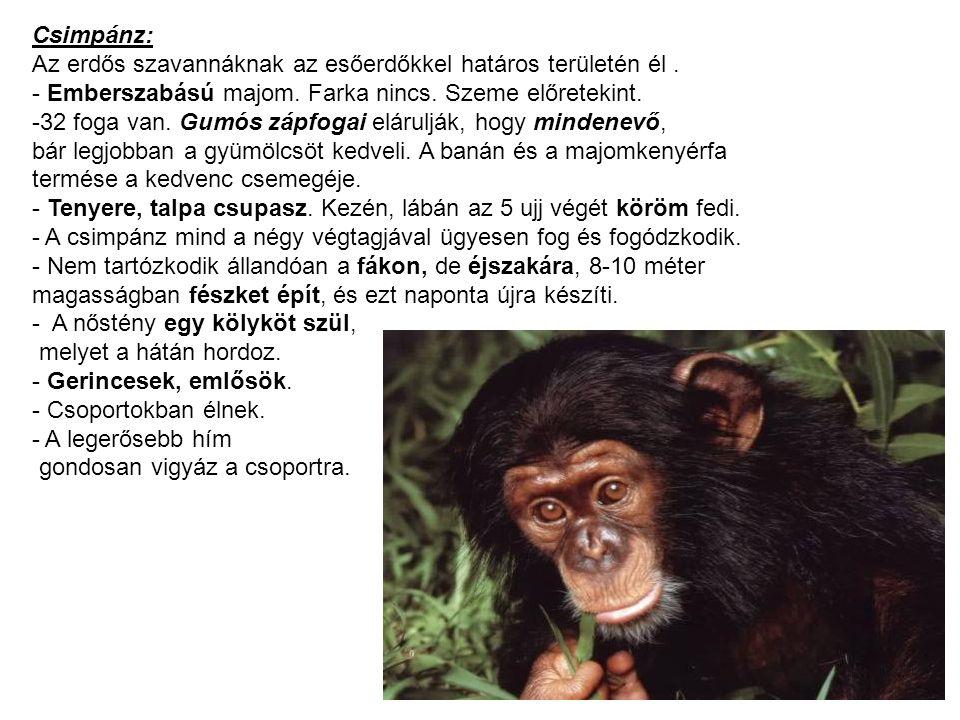 Csimpánz: Az erdős szavannáknak az esőerdőkkel határos területén él . - Emberszabású majom. Farka nincs. Szeme előretekint.