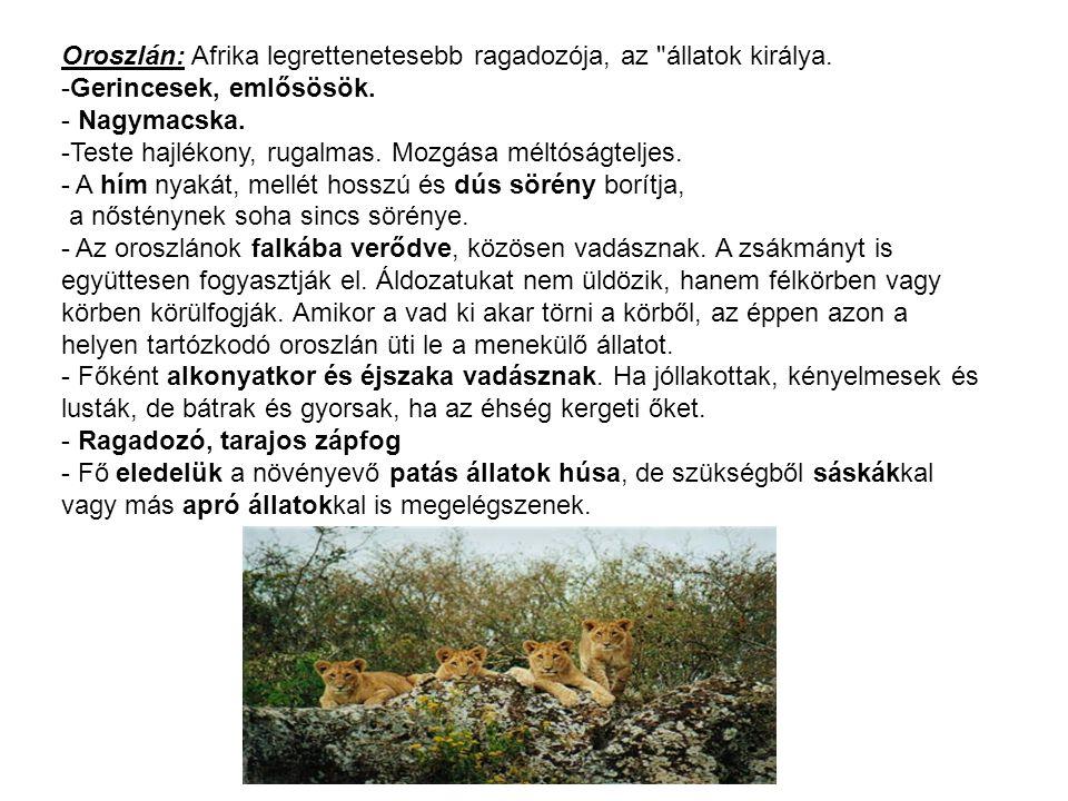 Oroszlán: Afrika legrettenetesebb ragadozója, az állatok királya.