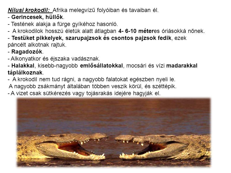 Nílusi krokodil: Afrika melegvízű folyóiban és tavaiban él.