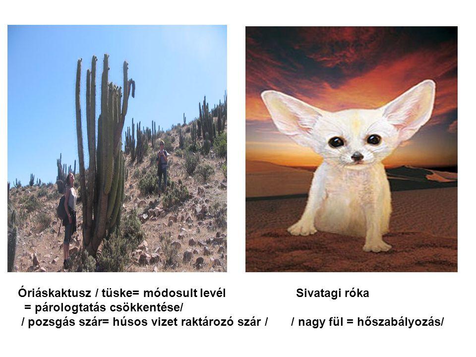 Óriáskaktusz / tüske= módosult levél Sivatagi róka