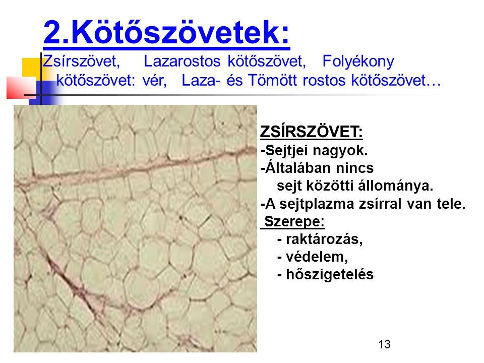 2.Kötőszövetek: Zsírszövet, Lazarostos kötőszövet, Folyékony