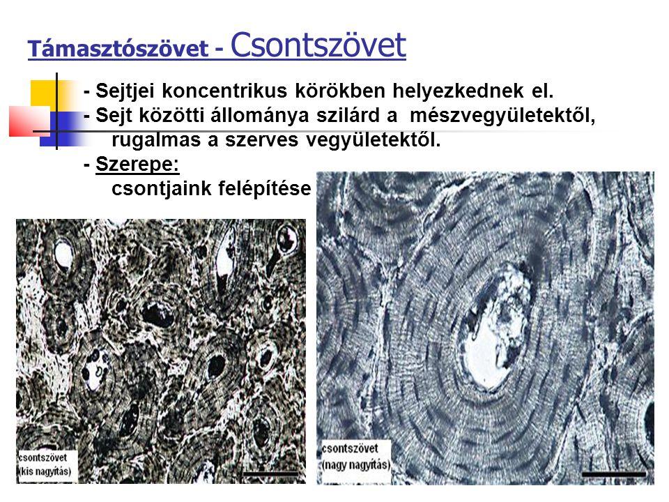 Támasztószövet - Csontszövet