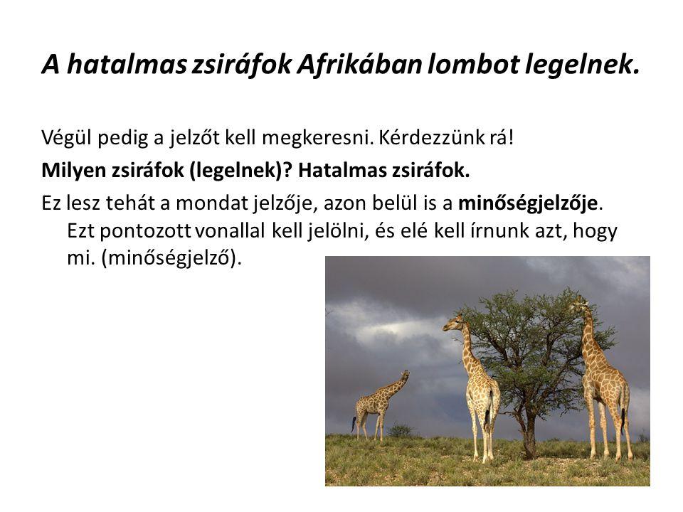 A hatalmas zsiráfok Afrikában lombot legelnek.