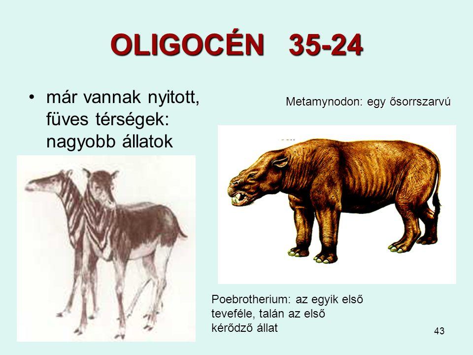OLIGOCÉN 35-24 már vannak nyitott, füves térségek: nagyobb állatok