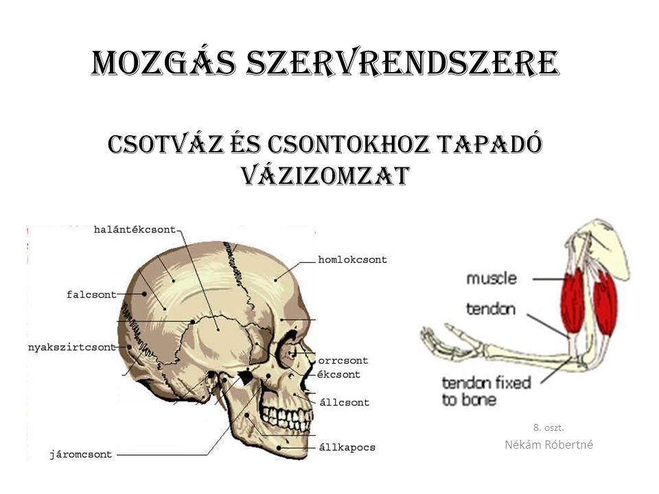 Mozgás szervrendszere CSOTVÁZ ÉS csontokhoz tapadó vázIZOMZAT