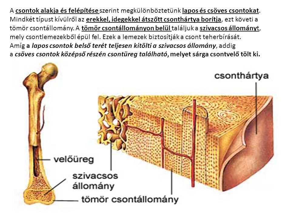 A csontok alakja és felépítése szerint megkülönböztetünk lapos és csöves csontokat. Mindkét típust kívülről az erekkel, idegekkel átszőtt csonthártya borítja, ezt követi a tömör csontállomány. A tömör csontállományon belül találjuk a szivacsos állományt, mely csontlemezekből épül fel. Ezek a lemezek biztosítják a csont teherbírását.