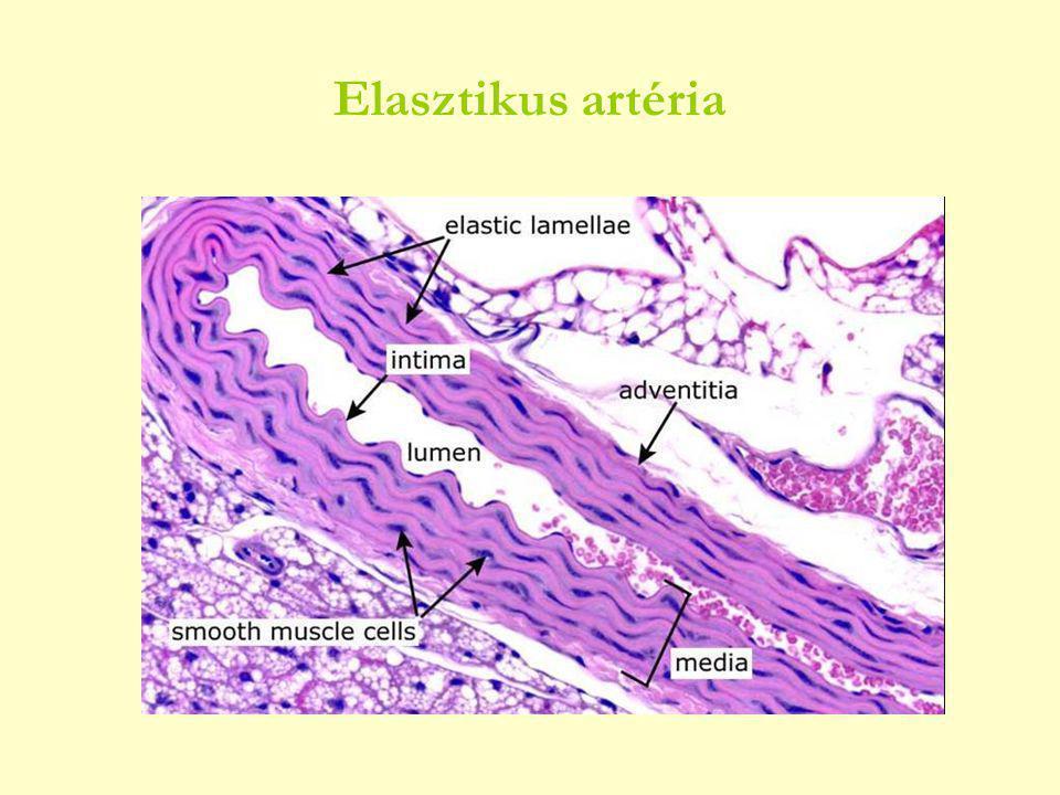 Elasztikus artéria