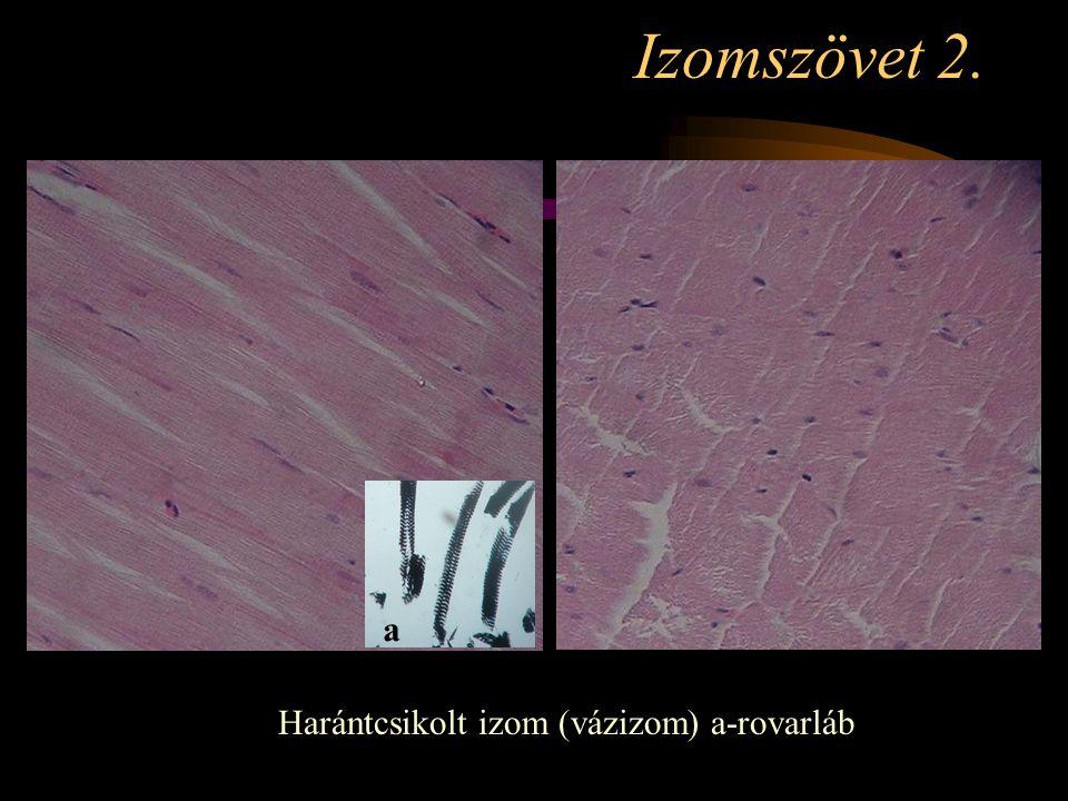 Izomszövet 2. a Harántcsikolt izom (vázizom) a-rovarláb
