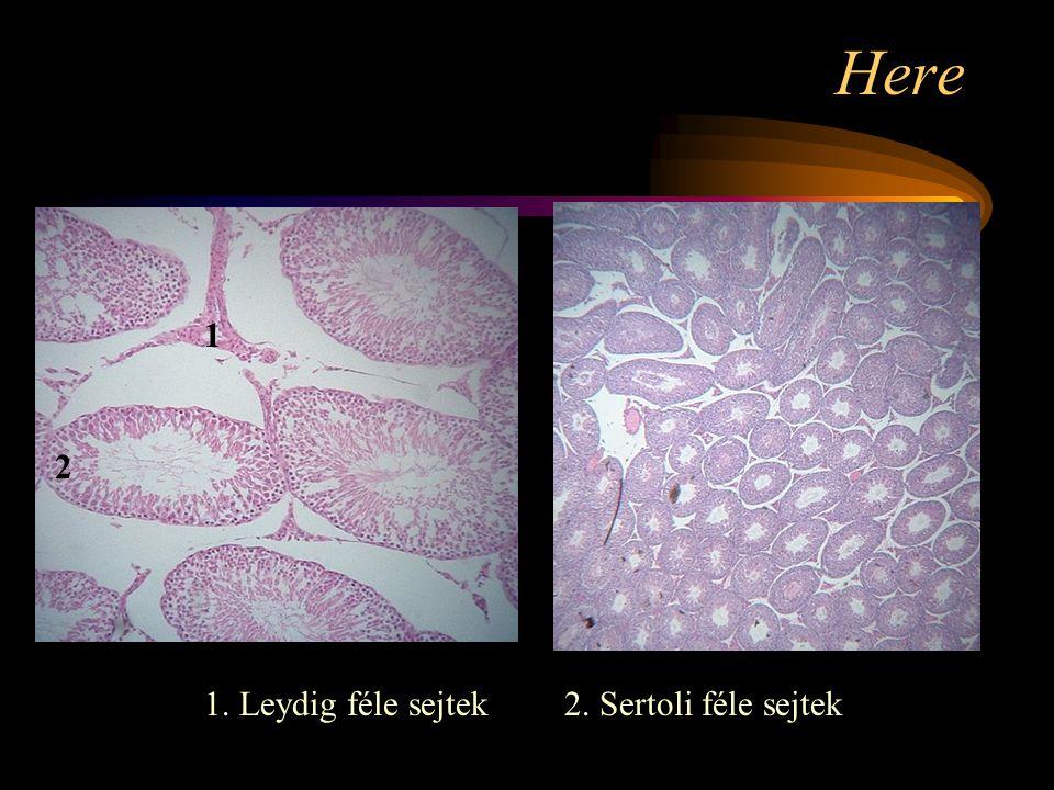 Here 1 2 1. Leydig féle sejtek 2. Sertoli féle sejtek
