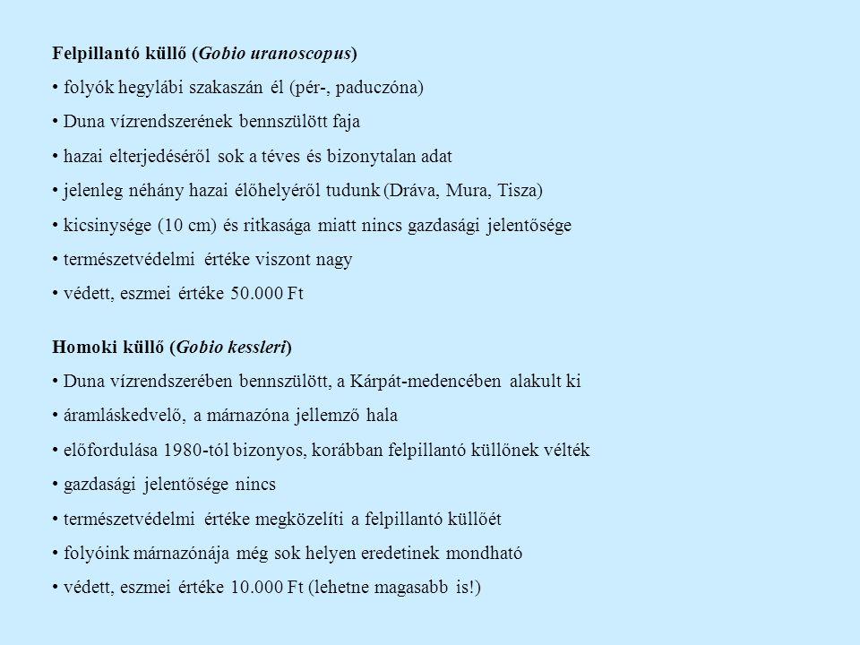 Felpillantó küllő (Gobio uranoscopus)