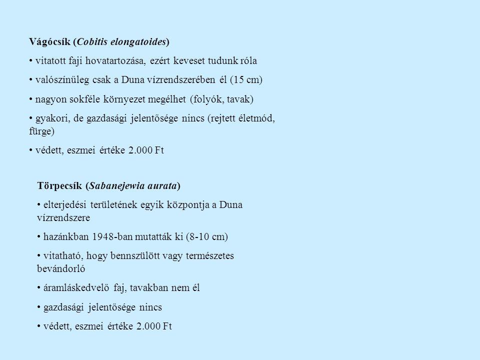 Vágócsík (Cobitis elongatoides)