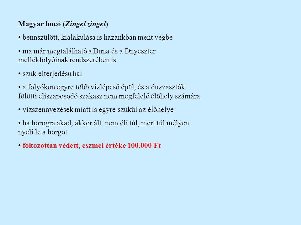 Magyar bucó (Zingel zingel)