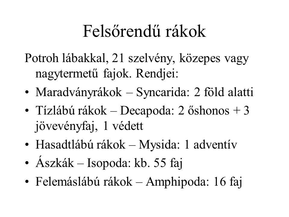 Felsőrendű rákok Potroh lábakkal, 21 szelvény, közepes vagy nagytermetű fajok. Rendjei: Maradványrákok – Syncarida: 2 föld alatti.