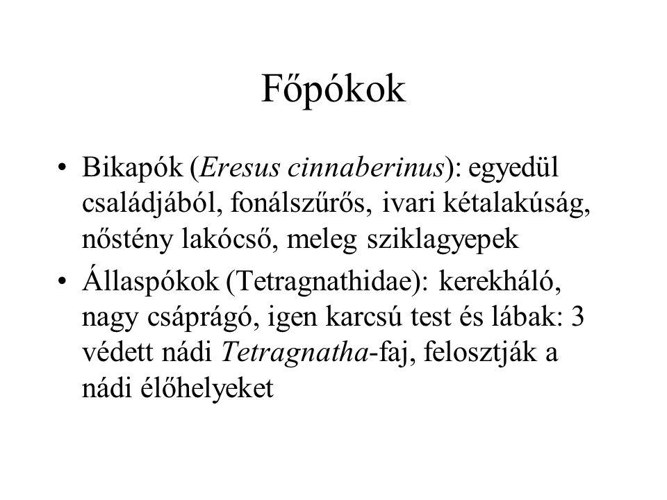 Főpókok Bikapók (Eresus cinnaberinus): egyedül családjából, fonálszűrős, ivari kétalakúság, nőstény lakócső, meleg sziklagyepek.