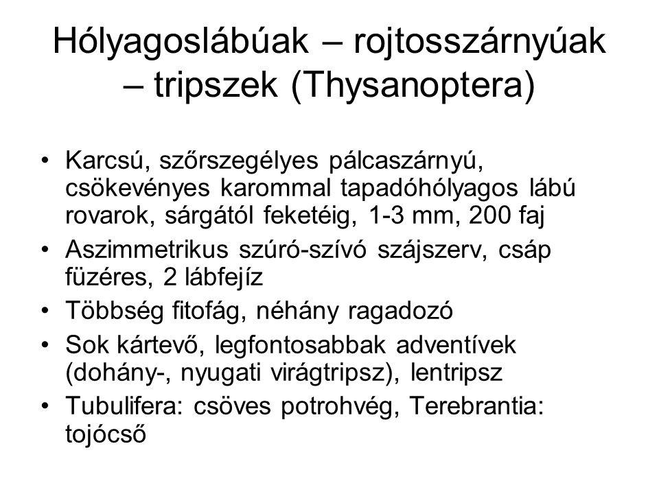 Hólyagoslábúak – rojtosszárnyúak – tripszek (Thysanoptera)
