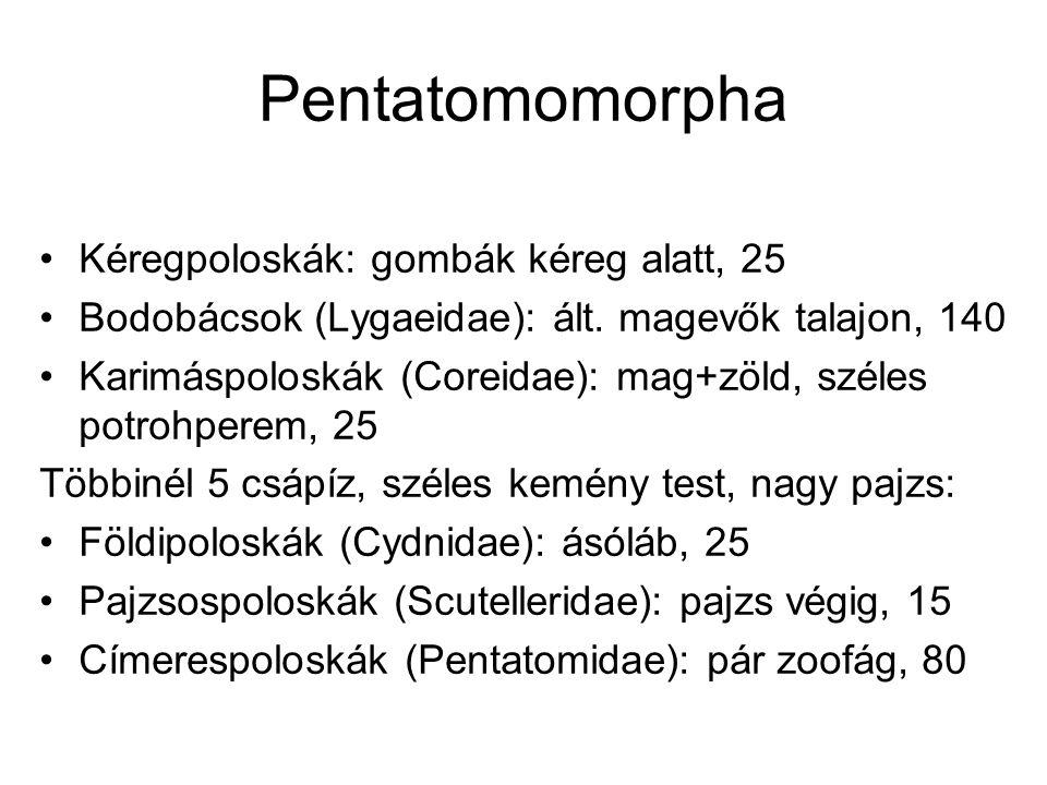 Pentatomomorpha Kéregpoloskák: gombák kéreg alatt, 25