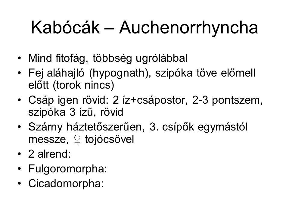 Kabócák – Auchenorrhyncha