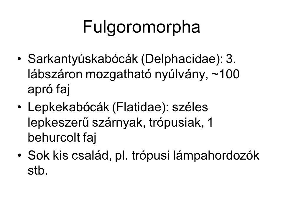 Fulgoromorpha Sarkantyúskabócák (Delphacidae): 3. lábszáron mozgatható nyúlvány, ~100 apró faj.