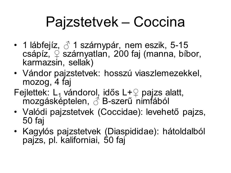Pajzstetvek – Coccina 1 lábfejíz, ♂ 1 szárnypár, nem eszik, 5-15 csápíz, ♀ szárnyatlan, 200 faj (manna, bíbor, karmazsin, sellak)