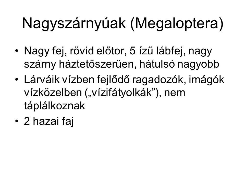 Nagyszárnyúak (Megaloptera)
