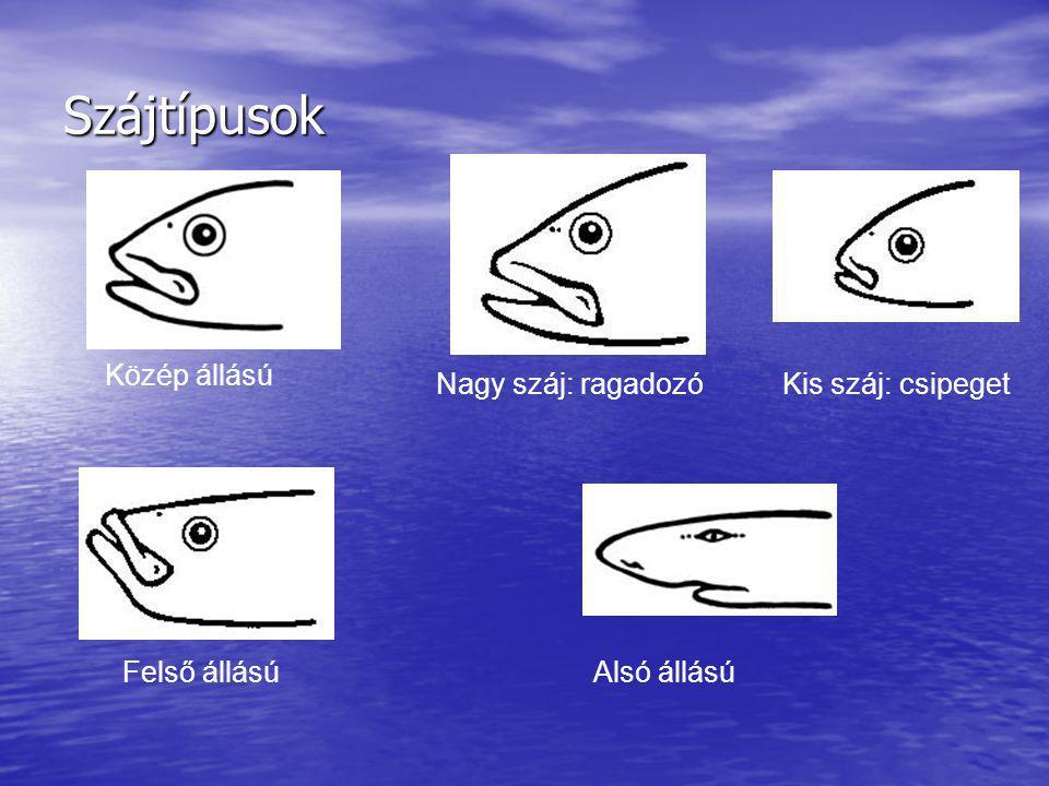 Szájtípusok Közép állású Nagy száj: ragadozó Kis száj: csipeget