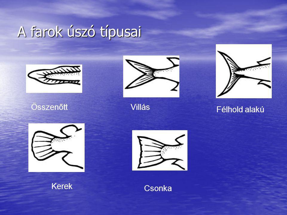 A farok úszó típusai Összenőtt Villás Félhold alakú Kerek Csonka