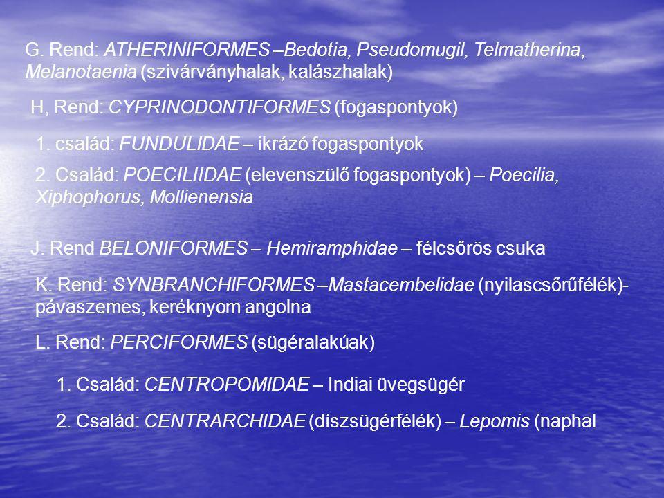 G. Rend: ATHERINIFORMES –Bedotia, Pseudomugil, Telmatherina, Melanotaenia (szivárványhalak, kalászhalak)