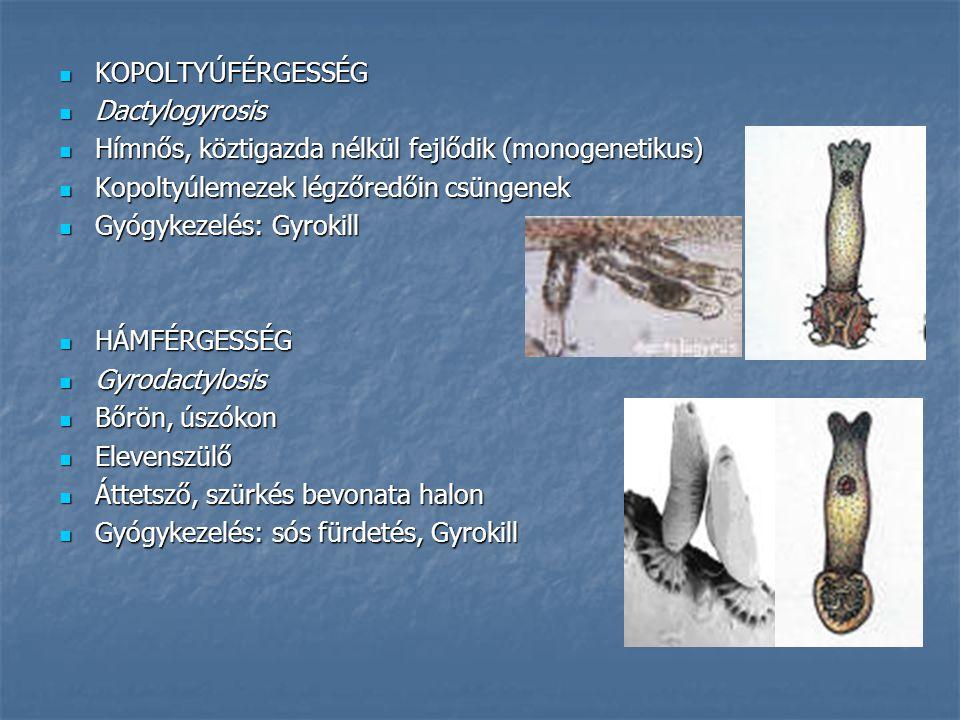 KOPOLTYÚFÉRGESSÉG Dactylogyrosis. Hímnős, köztigazda nélkül fejlődik (monogenetikus) Kopoltyúlemezek légzőredőin csüngenek.