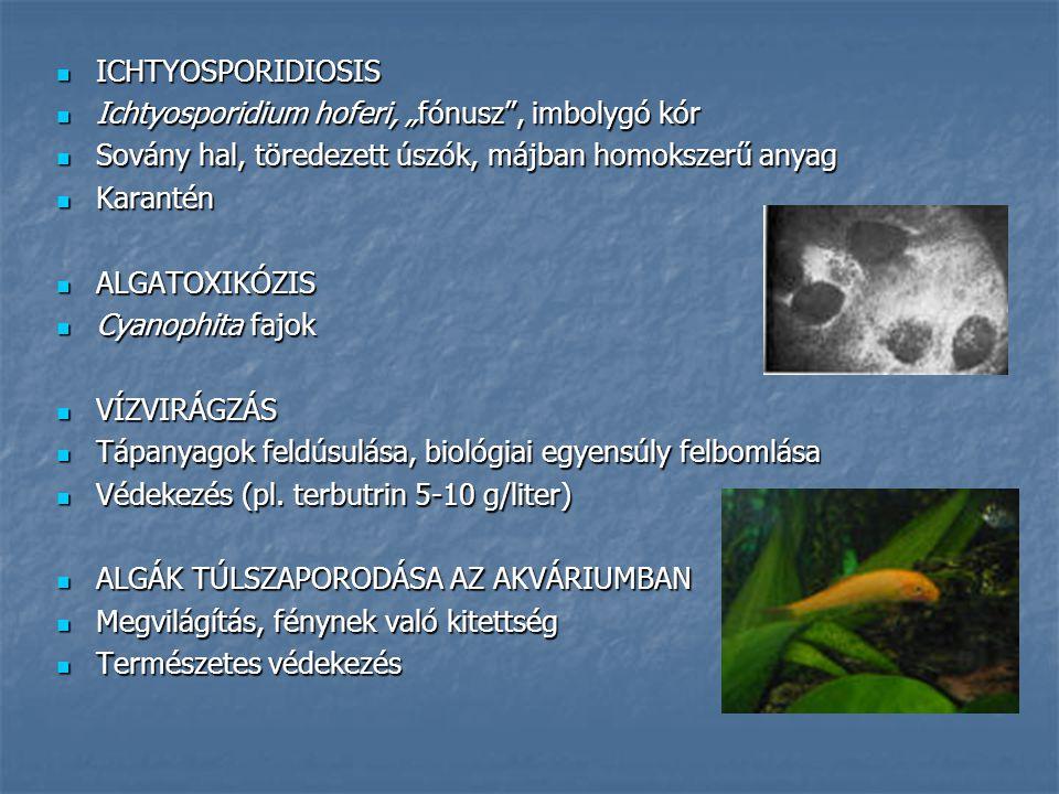 """ICHTYOSPORIDIOSIS Ichtyosporidium hoferi, """"fónusz , imbolygó kór. Sovány hal, töredezett úszók, májban homokszerű anyag."""