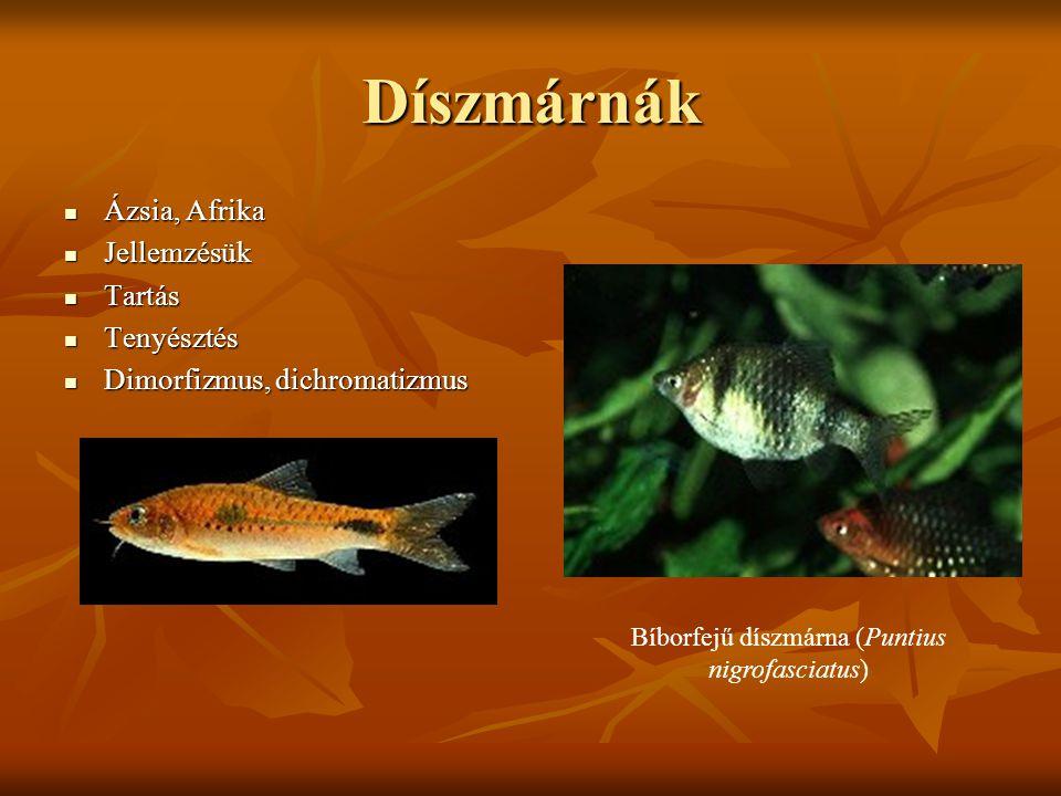 Bíborfejű díszmárna (Puntius nigrofasciatus)