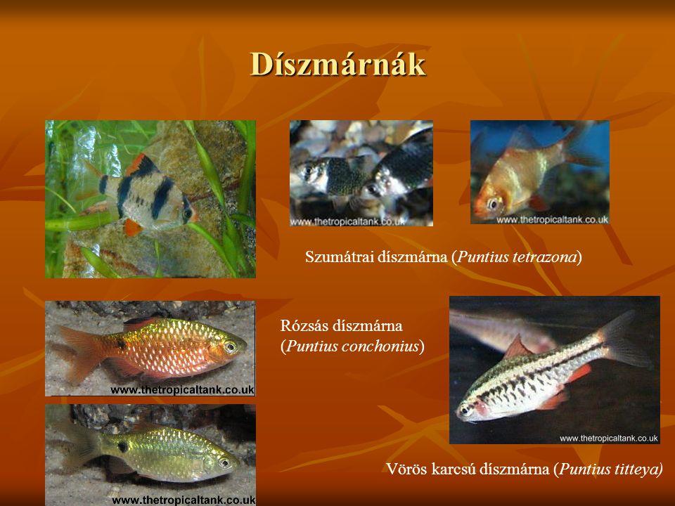 Díszmárnák Szumátrai díszmárna (Puntius tetrazona)