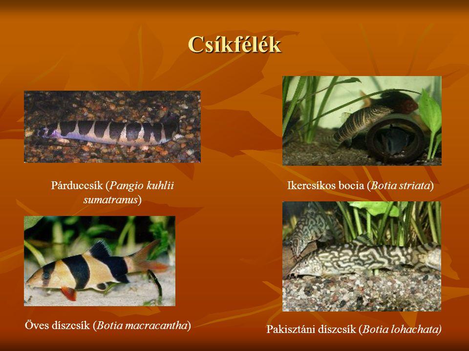 Csíkfélék Párduccsík (Pangio kuhlii sumatranus)