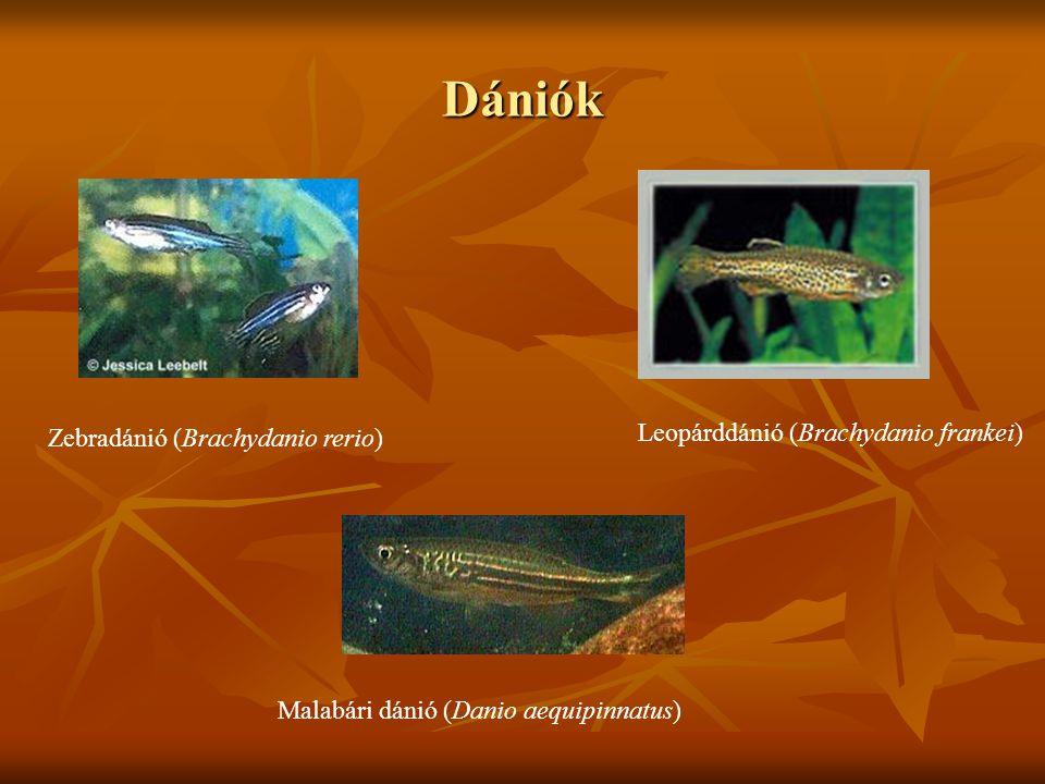 Dániók Leopárddánió (Brachydanio frankei)