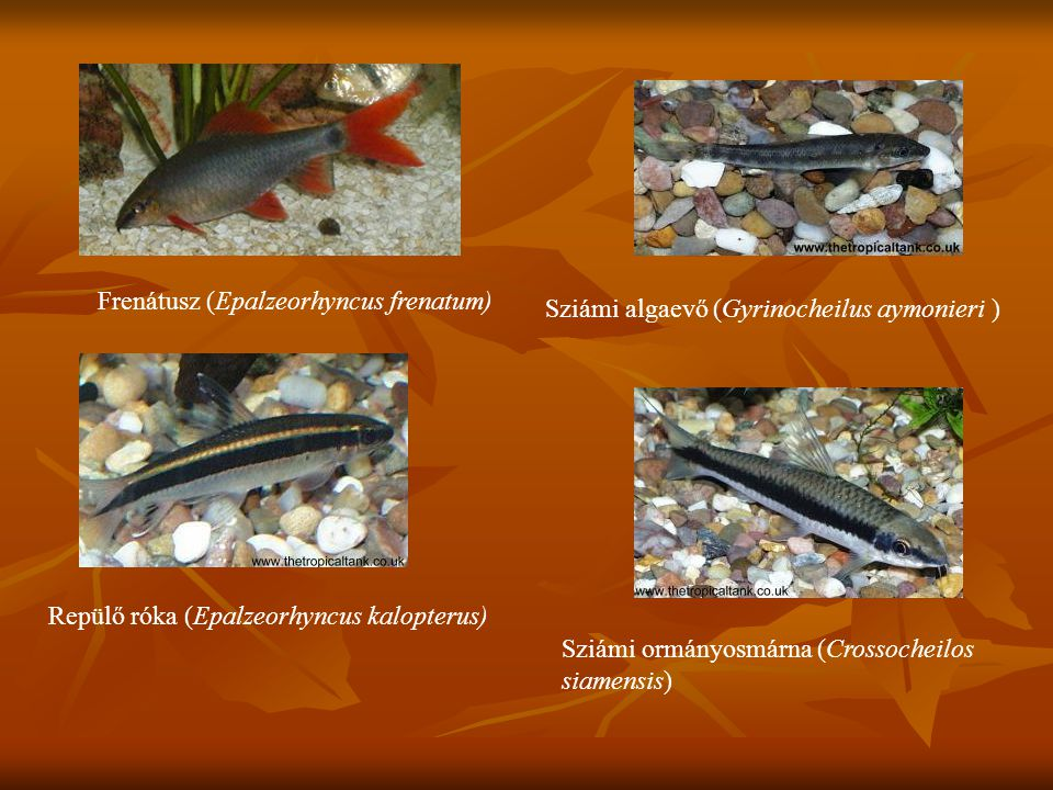 Frenátusz (Epalzeorhyncus frenatum)