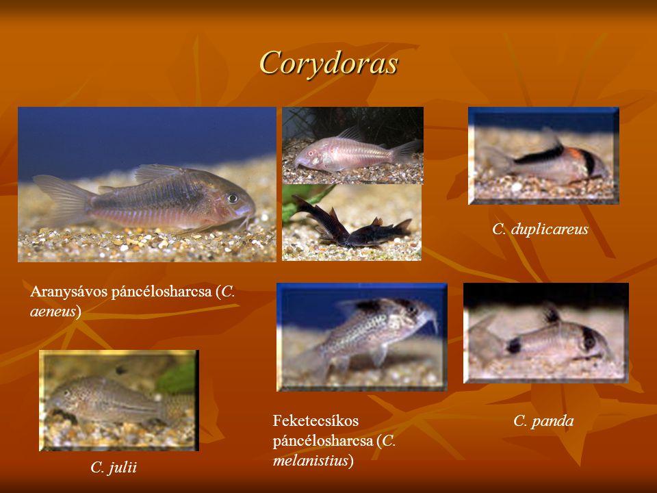 Corydoras C. duplicareus Aranysávos páncélosharcsa (C. aeneus)