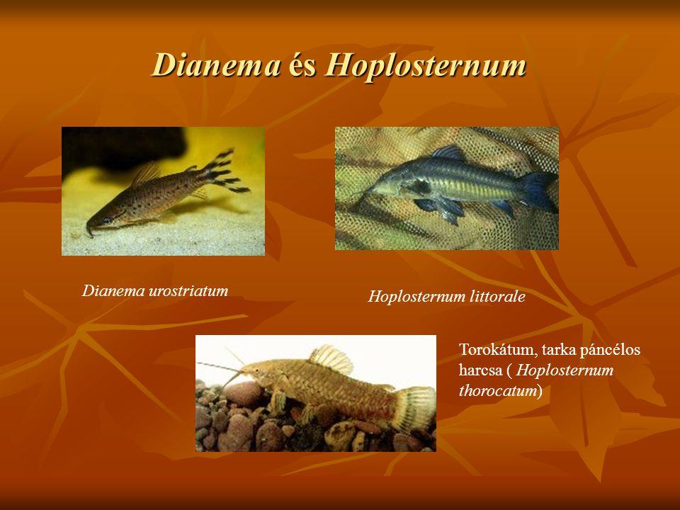 Dianema és Hoplosternum